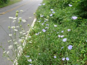 Chicory Queen Anne's Lace and Chicory
